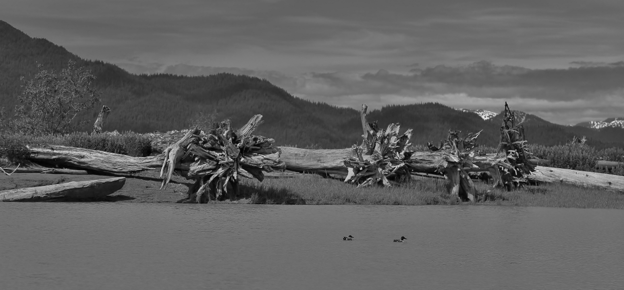 The Stikine River.  There are dead tree trunks, carried down by the Spring thaw, everywhere...